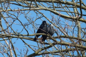 Dohlenpaar im Baum