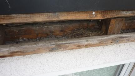Mauersegler-Nest hinter Attika
