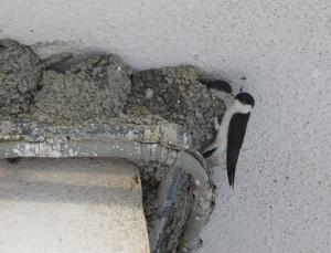 Merhlschwalbe am Nest - Kopie